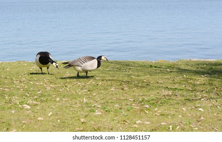 Two barnacle geese graze on grass with water beyond on Suomenlinna island, Finland