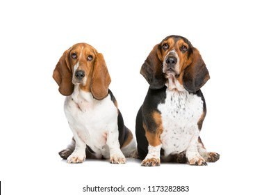 two basset hounds sitting in front of a white background