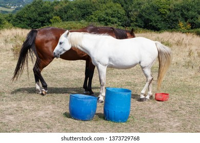 Two bay and gray horses in a field in Brittany