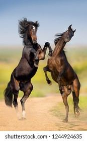 Two bay horse fight and rearing up