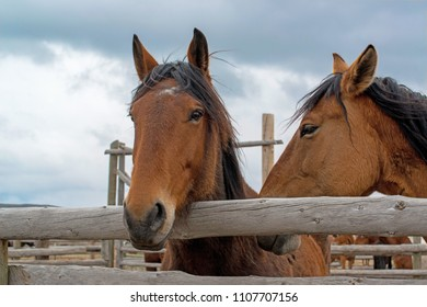 Two bay horses in wooden ranch corral