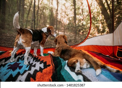 Two beagle dogs in a tent looking out at sunrise into the forest camping at Austin Creek Recreation Area campground, Bullfrog Pond Camp in California.