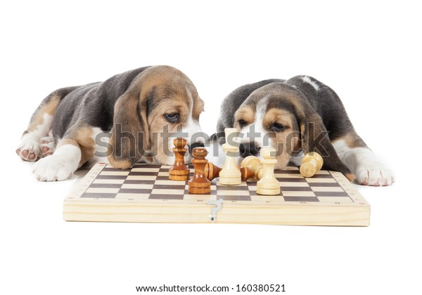 Two Beagle Puppies Playing Chess On Stock Photo Edit Now
