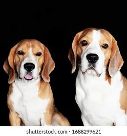 two beagles on a gray background dogs are best friends