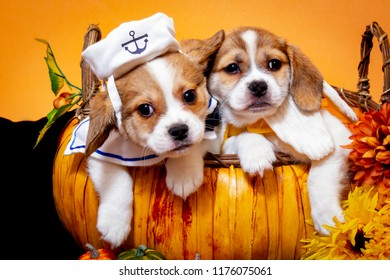 Two Beaglier Puppies, One Wearing a Sailor Outfit and One Wearing a Banana Costume, in a Pumpkin Basket Surrounded by Autumn Vegetables and Flowers