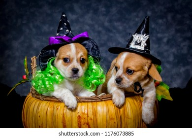 Two Beaglier Puppies Wearing Witches Hats in a Pumpkin Basket for Halloween
