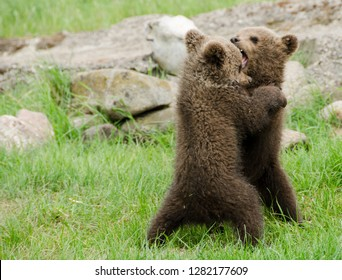 Two bear cubs playing with eachother in the nature