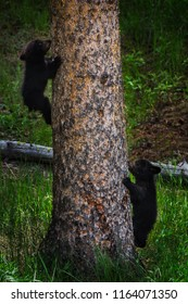 Two bear cubs racing up tree