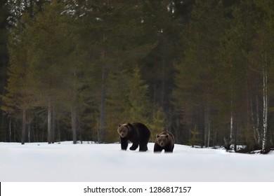 two bear walking on snow after hibernation