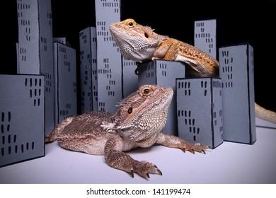 two bearded dragon playing Godzilla
