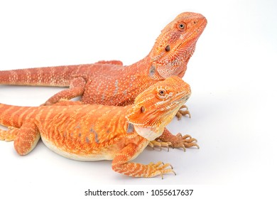 Similar Images, Stock Photos & Vectors of Baby Bearded Dragon