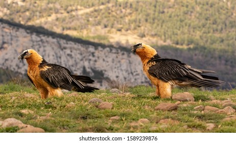 Two bearded vultures in Spanish mountains