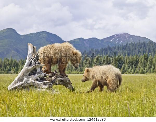 Two bears in Alaska enjoying the wilderness