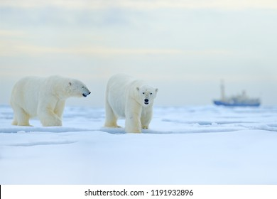 Two bears and boat. Polar bear on drifting ice with snow, blurred cruise vessel in background, Svalbard, Norway. Wildlife scene in the nature. Cold winter in the Arctic. Arctic wild animals in snow.