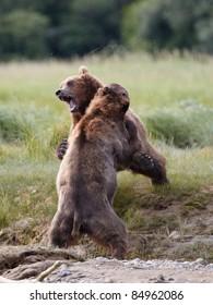 Two bears playing. Katmai, Alaska