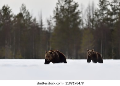 Two bears walking on snow