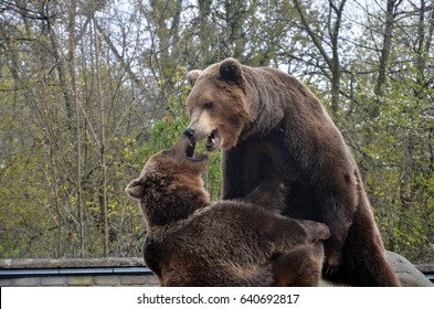 Two bears while fighting