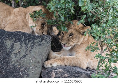 Two beautiful baby lions playing on stone