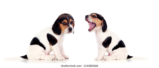 Two beautiful beagle puppies isolated on a white background