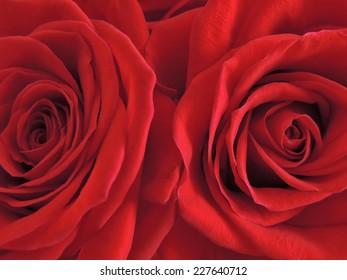 Two beautiful blooming red rose closeup.