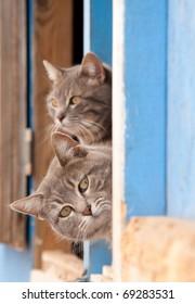 Two beautiful blue tabby cats peeking out of a barn door