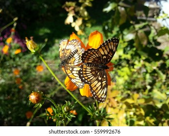 Two beautiful bordered patch butterflies.