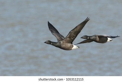 Two beautiful Brent Geese (Branta bernicla) flying over the sea at high tide in Kent, UK.