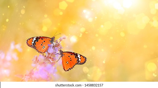 Two Beautiful bright orange butterfly on golden field meadow in sunset rays, nature summer landscape, close up. lovely couple butterfly. gentle pastoral rural artistic image. summer season. copy space