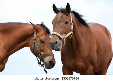 Two beautiful brown horses