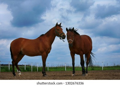 Two beautiful brown horses in the field