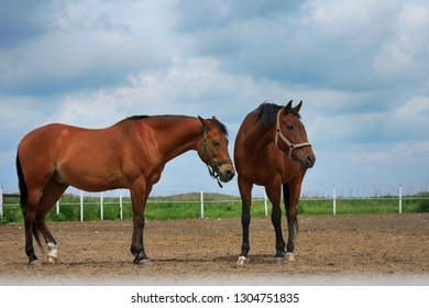Two beautiful brown horses stand in a field on a stable