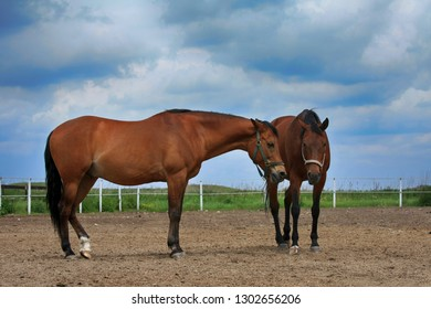 Two beautiful brown horses are standing in the field.