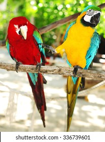 Two beautiful carribean maccaws on exotic beach at Saona island, Dominican Republic