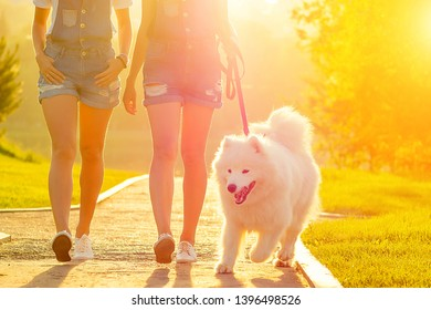 two beautiful and charming girlfriends in denim overalls are walking with a white fluffy samoyed dog in the summer park at sunset
