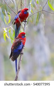 Two Beautiful Crimson Rosella's. Native Australian Parrots