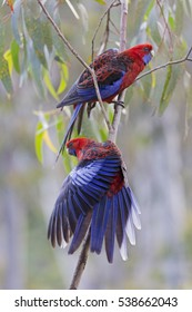 Two Beautiful Crimson Rosellas on a Tree Branch, Australian Native Parrot