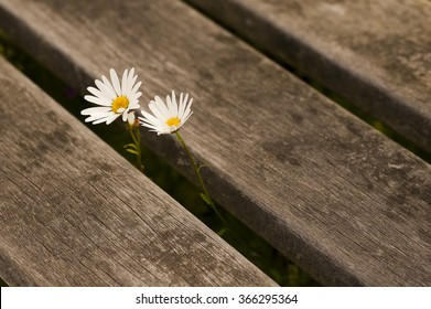 Two beautiful daisies on a wooden background