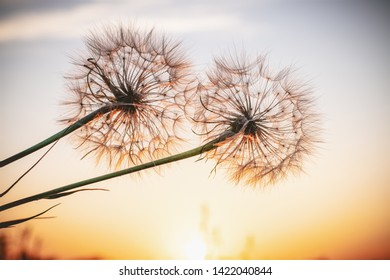 Two beautiful dandelions, yellow salsify, and the light of the setting sun.