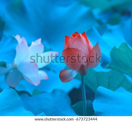 Two beautiful different colors lotus flowers stock photo edit now two beautiful different colors of lotus flowers rhythmic rising above the water surface mightylinksfo
