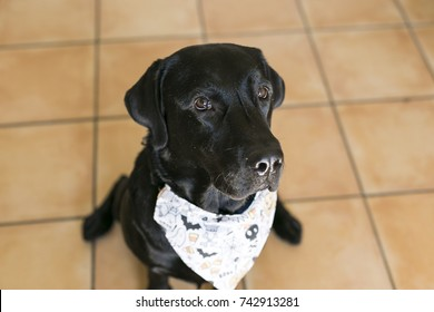 two beautiful dogs wearing halloween bandanas. Beautiful Black labrador and cute small little dog over white background