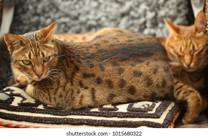two beautiful dotted ocicat cats together