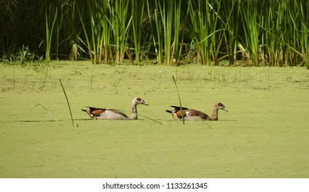 Two beautiful ducks in a small green lake with reed and grass