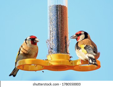 Two Beautiful European Goldfinches perched on a yellow tubular birdfeeder eating Niger Seed, against a clear blue sky background