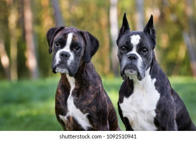 two beautiful german boxer dogs posing outdoors together