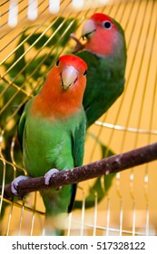 two beautiful green parrots lovebirds agapornis in gold cage