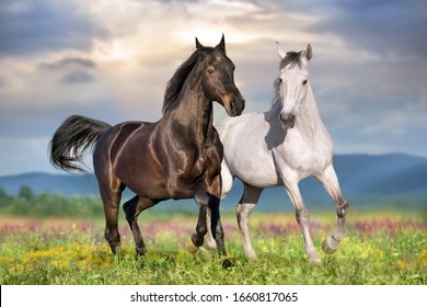 Two beautiful horse run gallop on flowers field with blue sky behind