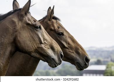 two beautiful horses (head-shot), together