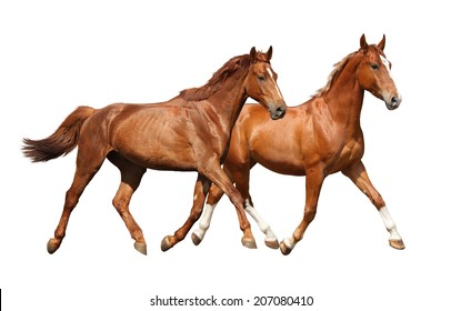 Two beautiful horses running isolated on white background