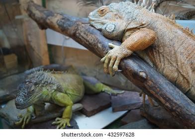 Two beautiful iguana with paws
