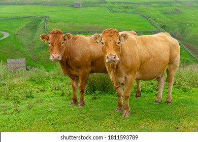 Two beautiful Limousin cows on the high fells near Keld in North Yorkshire.  Facing forward with green meadows and drystone walling.  Close up.  Horizontal.  Space for copy.